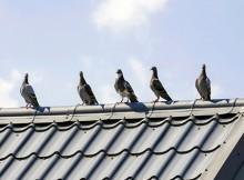 Gołębie na dachu, fot. Fotolia